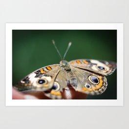 Common Buckeye Junonia Coenia Art Print