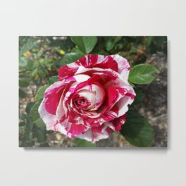 A Red and White Rose Metal Print