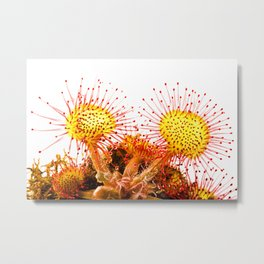 Round-leaved sundew (Drosera rotundifolia) Metal Print