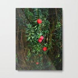 Yew (Taxus) Metal Print