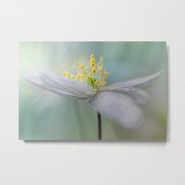 Gorgeous Wood Anemone... Metal Print