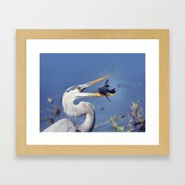 Great Blue Heron with Sailfin Catfish Framed Art Print