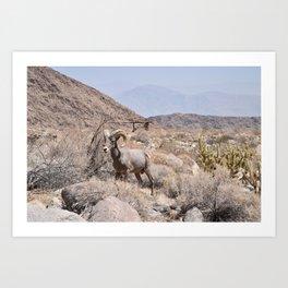 Desert Bighorn - Anza Borrego Desert, California Art Print