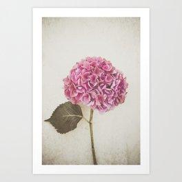 Beautiful Pink Hydrangea Art Print