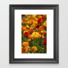 Yellow and orange ranunculus flower Framed Art Print