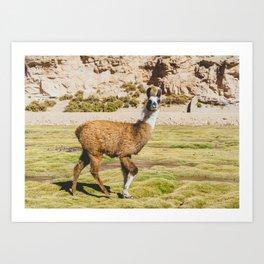 Curious llama in Bolivia Art Print