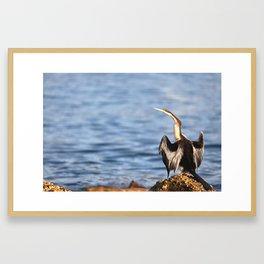 Australasian Darter Framed Art Print