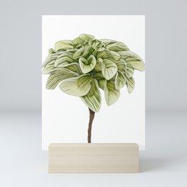 Foam Flower Tiarella cordifolia heartleaf Allegheny miterwort coolwort Mini Art Print