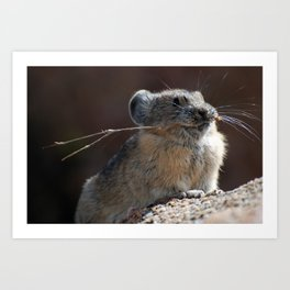 Anxious: American Pika Eating and on Alert Art Print