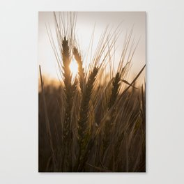 Wheat Holding the Sunset Canvas Print
