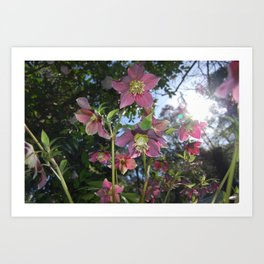 Hellebores in the sun Art Print