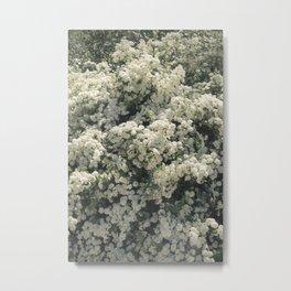 Summer Blooming Spirea, white flowers Metal Print