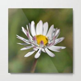 White Daisy Metal Print