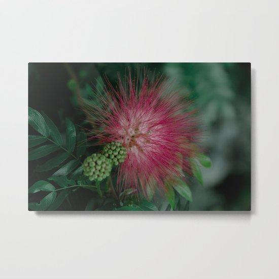 Calliandra. Flower. Metal Print
