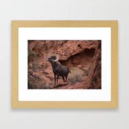 Desert Bighorn, Valley of Fire - III Framed Art Print