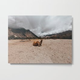Baby Camel in the sand dunes of ladakh Metal Print