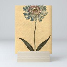 Flower 886 scabiosa caucasea Caucasean Scabious10 Mini Art Print