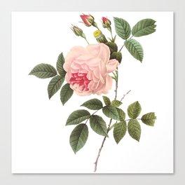 Vintage Pink Rose [04] Canvas Print