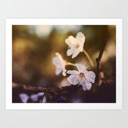 White Cherry Blossom Flowers Closeup Art Print