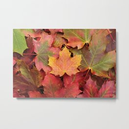 Yellow, green and red maple leaves Metal Print