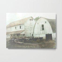 Dairy Cattle Metal Print