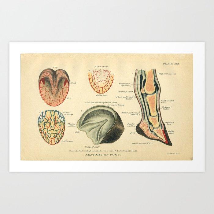 Vintage Horse Foot Anatomy Print Art Print by aburnski | Society6