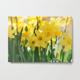 Spring Daffodils Metal Print