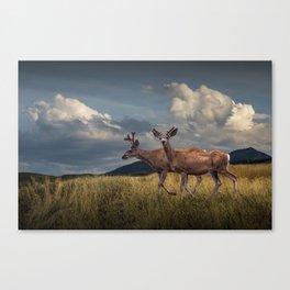 Mule Deer with Velvet Antlers in the Bighorn Mountains Canvas Print