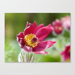 Red Pasque Flower Canvas Print
