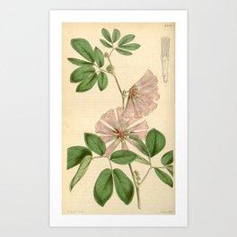 Flower 4238 calliandra harrisii Mr Harris Calliandra1 Art Print
