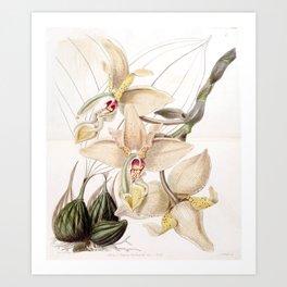 Stanhopea quadricornis Art Print