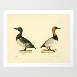 115 Bastard Broadbill (Fuligula rufitorques) Canvass back (Fuligula valisneria)13 Art Print