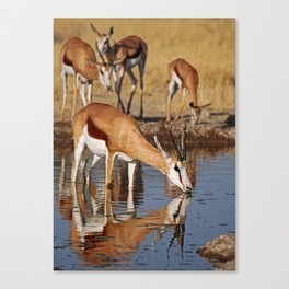 Drinking Springbok - Africa wildlife Canvas Print