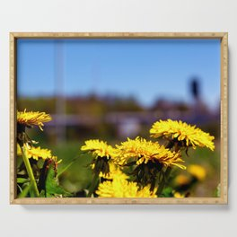 Concept flora . Dandelions in a field Serving Tray
