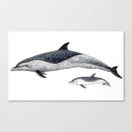 Pantropical spotted dolphin Canvas Print