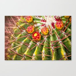 Rarely Blooming Cactus Flowers Canvas Print