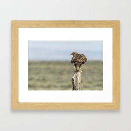 Red-Tailed Hawk Preparing to Fly Framed Art Print