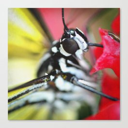BFX | nourishing woodnymph SQUARE (butterfly) Canvas Print