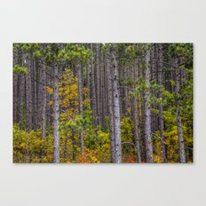 Colorful Leaves of Small Trees among a Grove of Pine Trees along M37 in Autumn No.0922 a Fine Art Fa Canvas Print