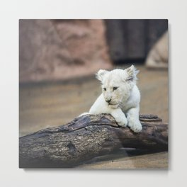 Baby White Lion Cub Taking 5! Metal Print