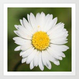 Closeup of a Beautiful Yellow and White Daisy flower Art Print