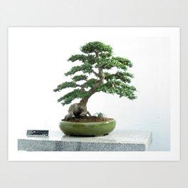 55 year old Chinese Elm  Art Print