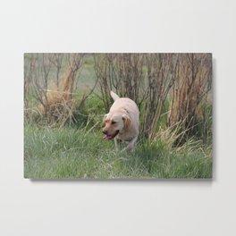 Yellow Lab Dog Hunting Metal Print