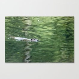 Beaver on an Evening Swim Canvas Print