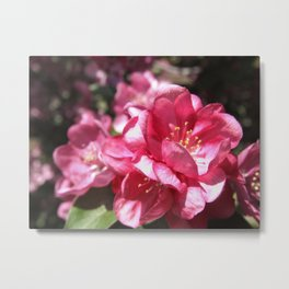 Malus Flower Metal Print