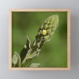 Sparkling Verbascum Thapsus Mullein Plant Framed Mini Art Print