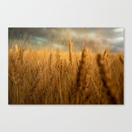 Harvest Time - Golden Wheat in Colorado Field Canvas Print