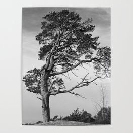Lonely pine on a hill Poster