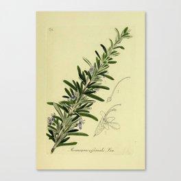 Botanical Rosemary Canvas Print