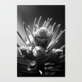 aspirations of the pinecone Canvas Print